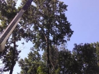 Large Tree Removal Services with Crane